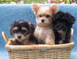 3 morkie puppies in wicker basket