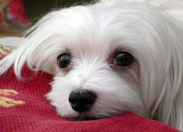 Snowdrop_the_Maltese_01