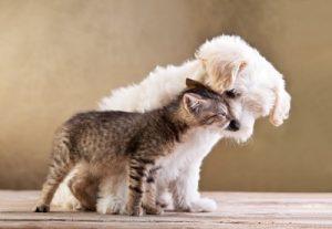 maltese puppy and kitten