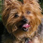 close-up-of-yorkie
