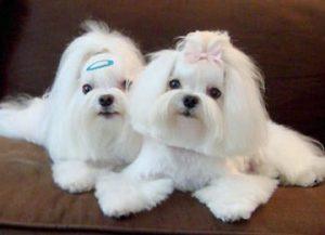 maltese-dog-picture- 36