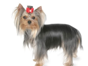 thumb_yorkshire-terrier_1024