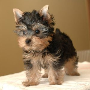 yorkie-puppy-photo