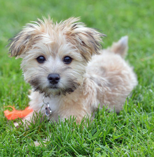 baby-morkie-on-grass