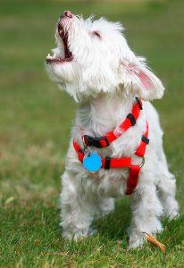 barking maltese