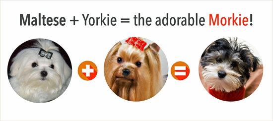 Yorkie plus Maltese equals Morkie