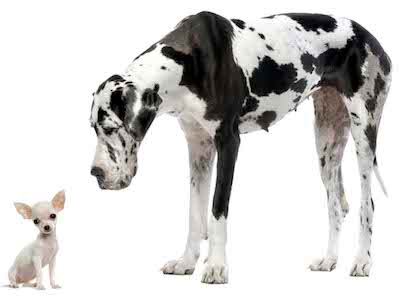 Hard to believe, but this Chihuhua and the Great Dane are the same species, canis familius.