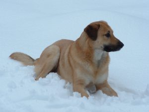 Chinook-Dog-Images