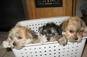 3 morkie puppies in laundry basket