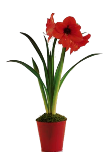 Amaryllis-Plants-are-poisonous-to-dogs
