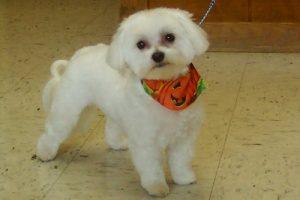 maltese-puppy