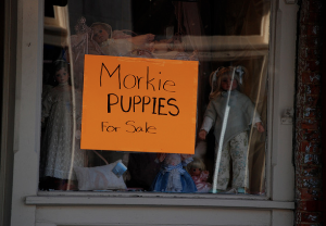 sign-morkies-for-sale