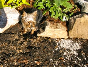 digging in garden