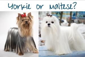 yorkie or maltese