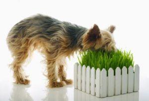 dog-eating-grass