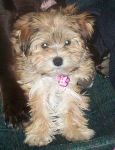 morkie-puppies-bailey-44896