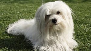 thumb_Maltese laying on grass_1024