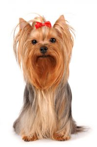Yorkshire terrier sits and looking to you isolated on white background