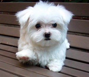 small_dog_breeds_03
