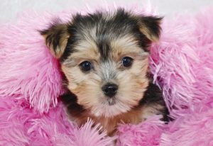 tiny morkie puppy on pink maribou