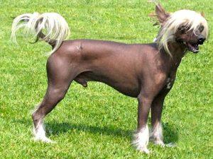 Chinese_crested_dog