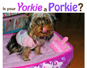 is your yorkie a porkie