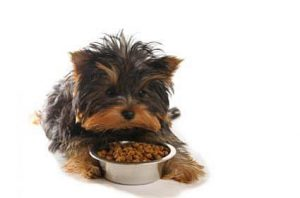 yorkie eating dogfood on white
