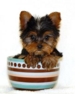 yorkie in a teacup