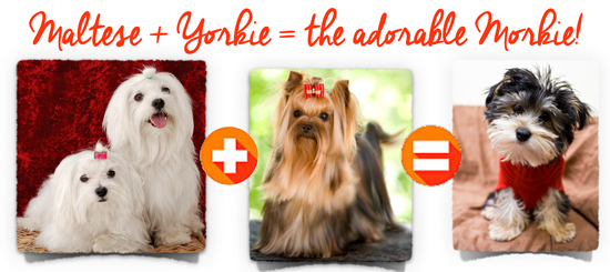 yorkie-plus-maltese-equals-morkie copy