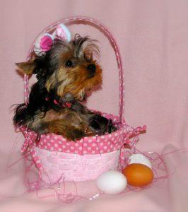 Easter-Bunny-Yorkie