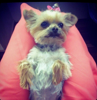 One of Johnny Depp's Yorkies