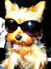 yorkie sunglasses
