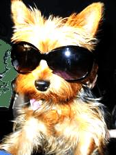 yorkie sunglasses