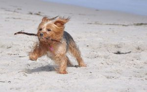 yorkie on beach with stick