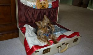 travelling yorkie