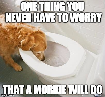 meme one thing you never have to worry about morkie toilet drinking