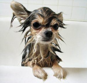 morkie wet in bath