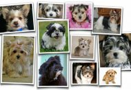 Morkie collage of photos