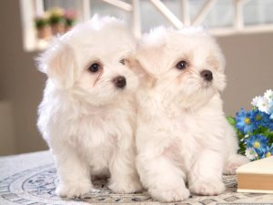 408190-dogs-cute-two-little-maltese-puppies
