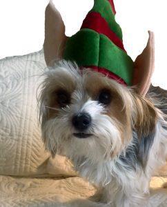 merry-christmas-morkie