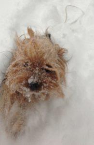 snowy-yorkie