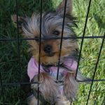 yorkie in cage