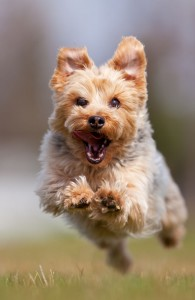 Yorkshire-Terrier_running to camera