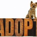 Adopt a Morkie