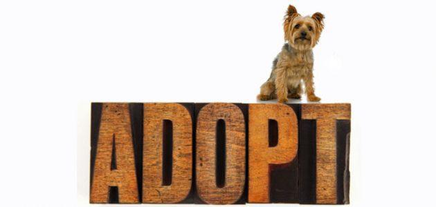 Adopt a Morkie