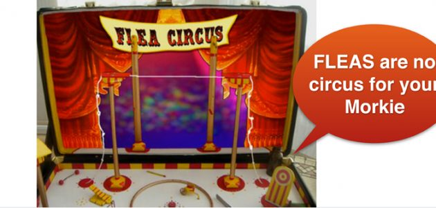 Flease are no circus for your Morkie