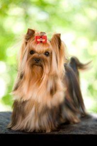 Yorkies are spirited dogs