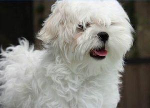 maltese-dog-picture- 4