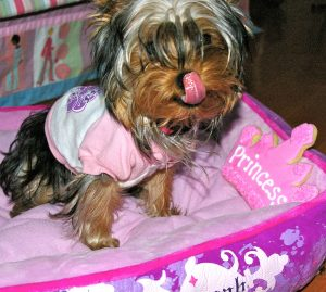 puppy tink pink bed licking chops