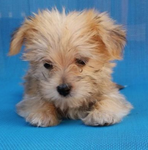tiny blond morkie puppy on blue background